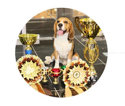 beagle_ami_shegoday_бигль-интерчемпион-для-вязки
